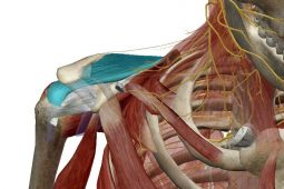 The supraspinatus muscle and tendon as it passes beneath the acromion
